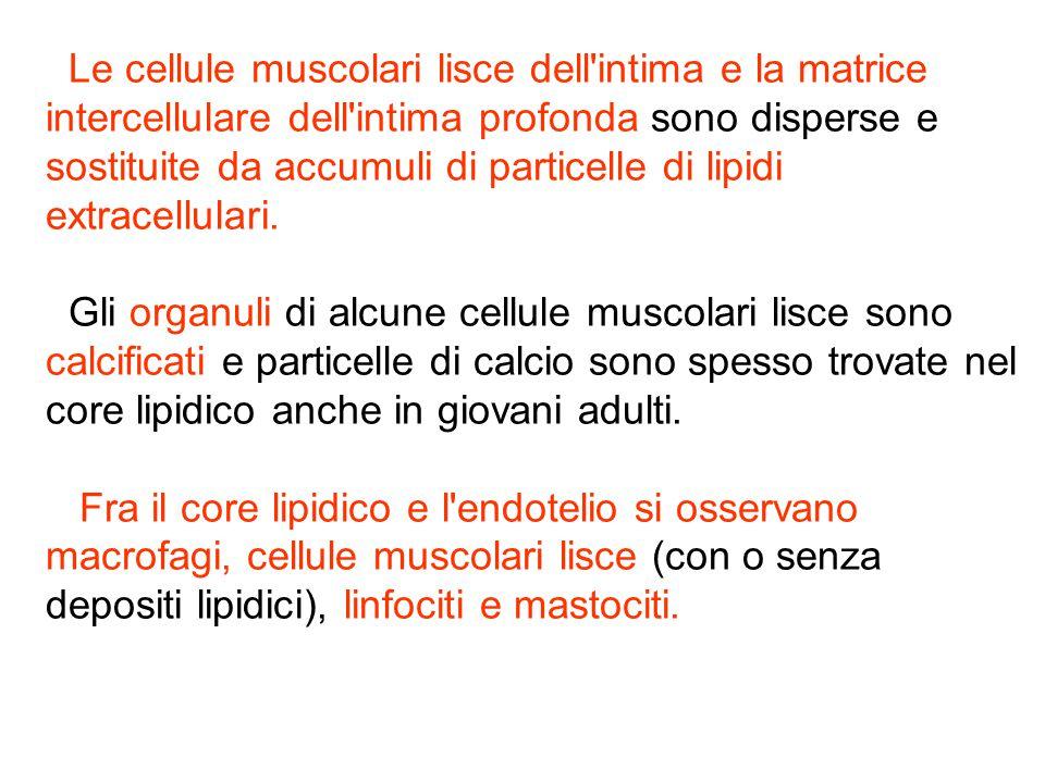 Le cellule muscolari lisce dell intima e la matrice intercellulare dell intima profonda sono disperse e sostituite da accumuli di particelle di lipidi extracellulari.