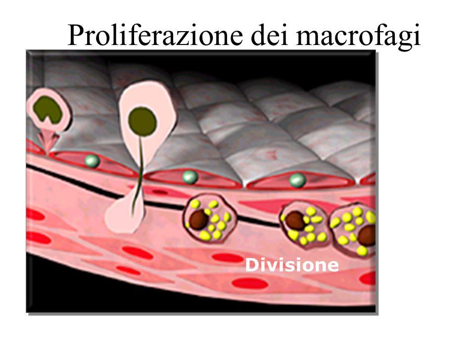 Proliferazione dei macrofagi