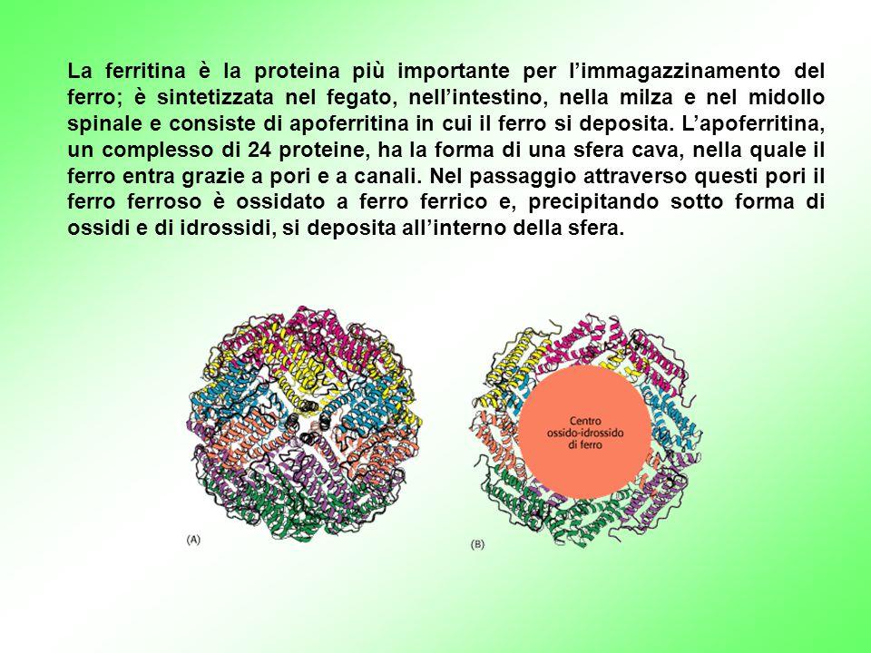 La ferritina è la proteina più importante per l'immagazzinamento del ferro; è sintetizzata nel fegato, nell'intestino, nella milza e nel midollo spinale e consiste di apoferritina in cui il ferro si deposita.