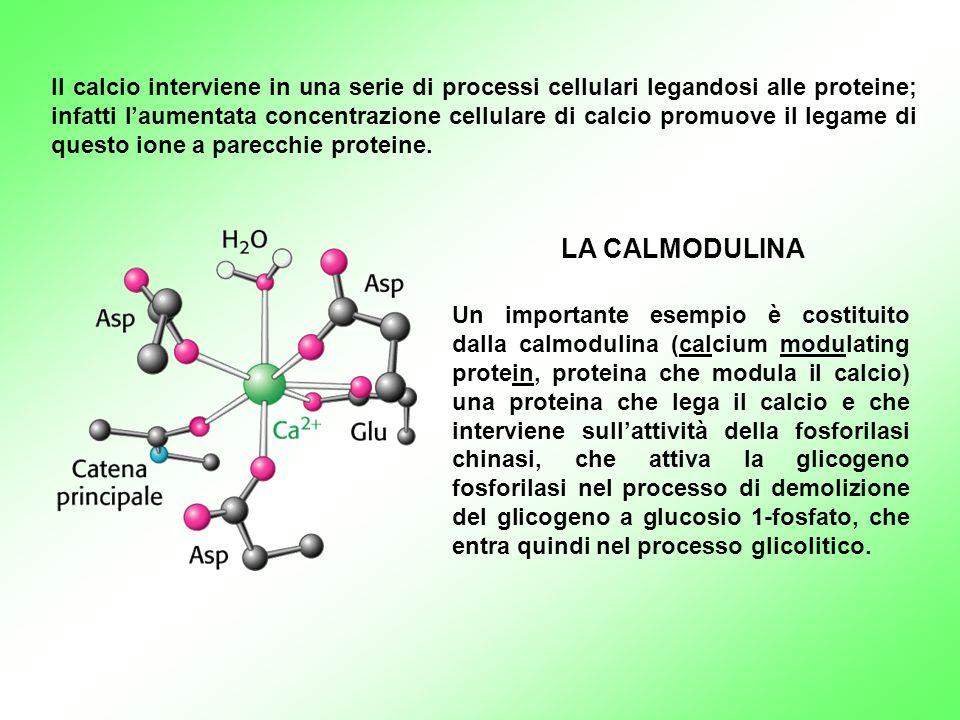 Il calcio interviene in una serie di processi cellulari legandosi alle proteine; infatti l'aumentata concentrazione cellulare di calcio promuove il legame di questo ione a parecchie proteine.