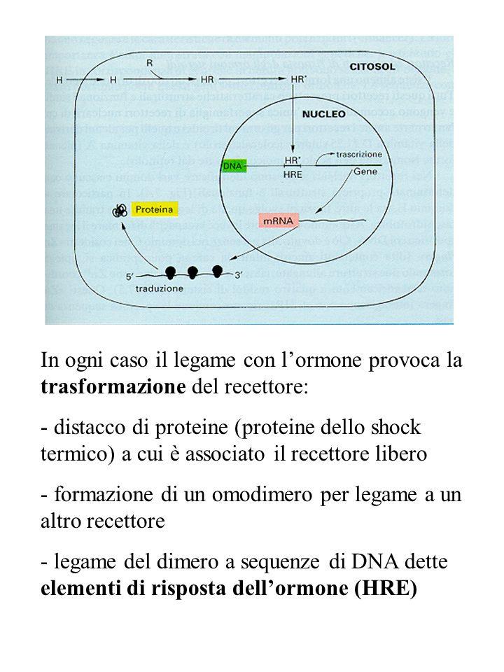 In ogni caso il legame con l'ormone provoca la trasformazione del recettore: