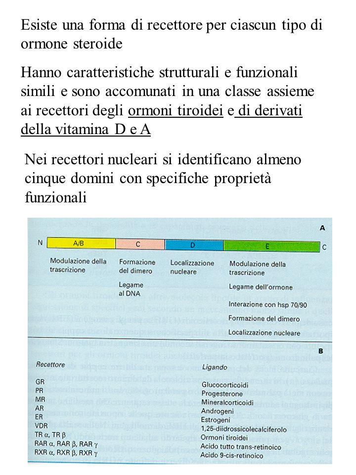 Esiste una forma di recettore per ciascun tipo di ormone steroide