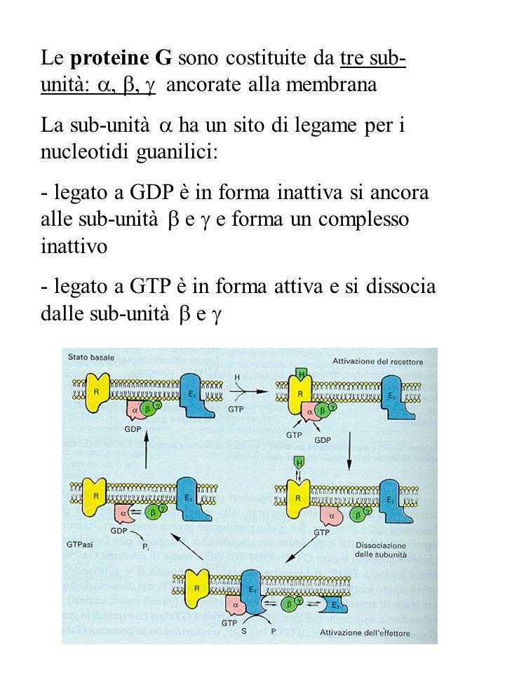 Le proteine G sono costituite da tre sub-unità: a, b, g ancorate alla membrana