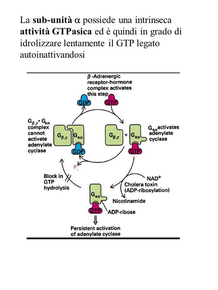 La sub-unità a possiede una intrinseca attività GTPasica ed è quindi in grado di idrolizzare lentamente il GTP legato autoinattivandosi