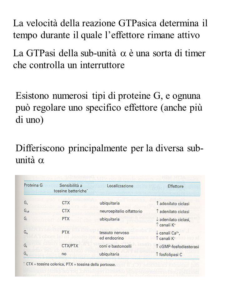 La velocità della reazione GTPasica determina il tempo durante il quale l'effettore rimane attivo