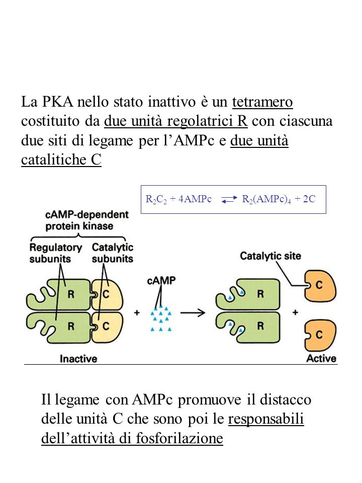 La PKA nello stato inattivo è un tetramero costituito da due unità regolatrici R con ciascuna due siti di legame per l'AMPc e due unità catalitiche C