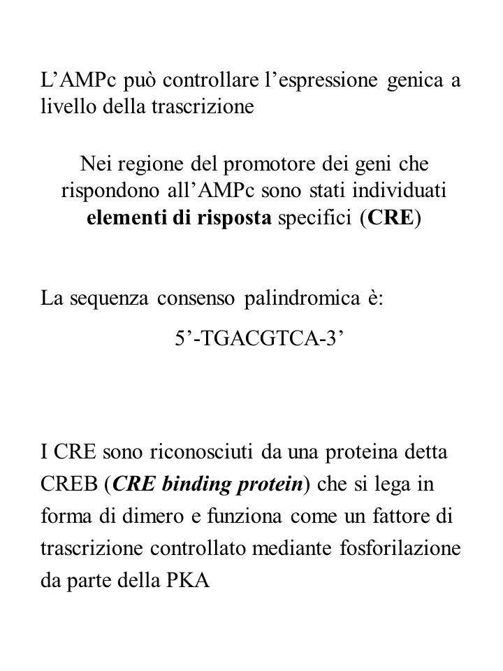 L'AMPc può controllare l'espressione genica a livello della trascrizione