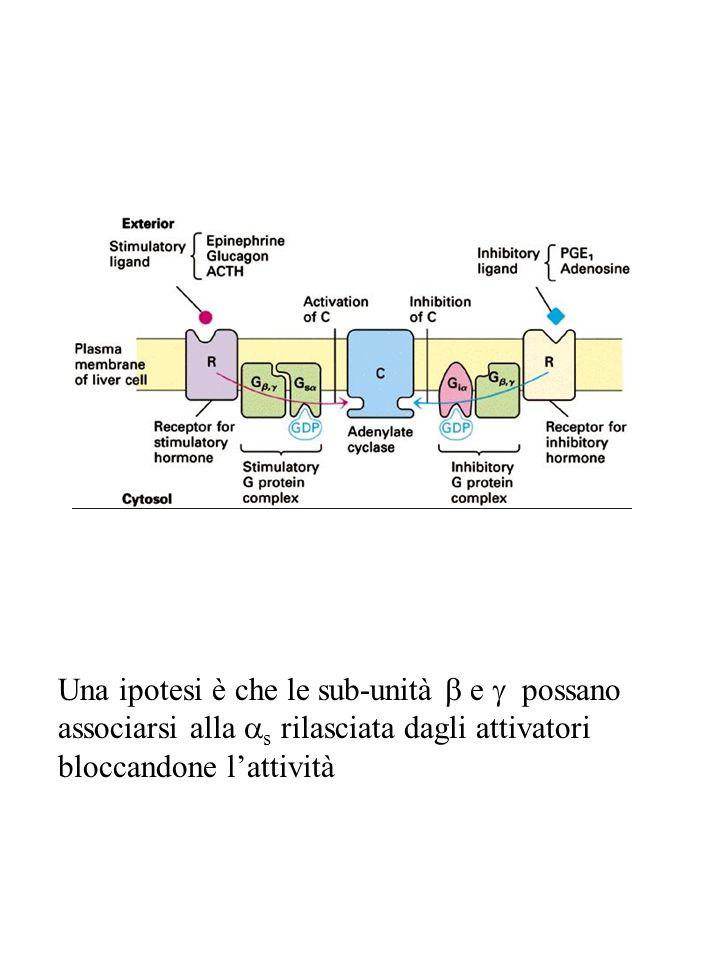 Una ipotesi è che le sub-unità b e g possano associarsi alla as rilasciata dagli attivatori bloccandone l'attività
