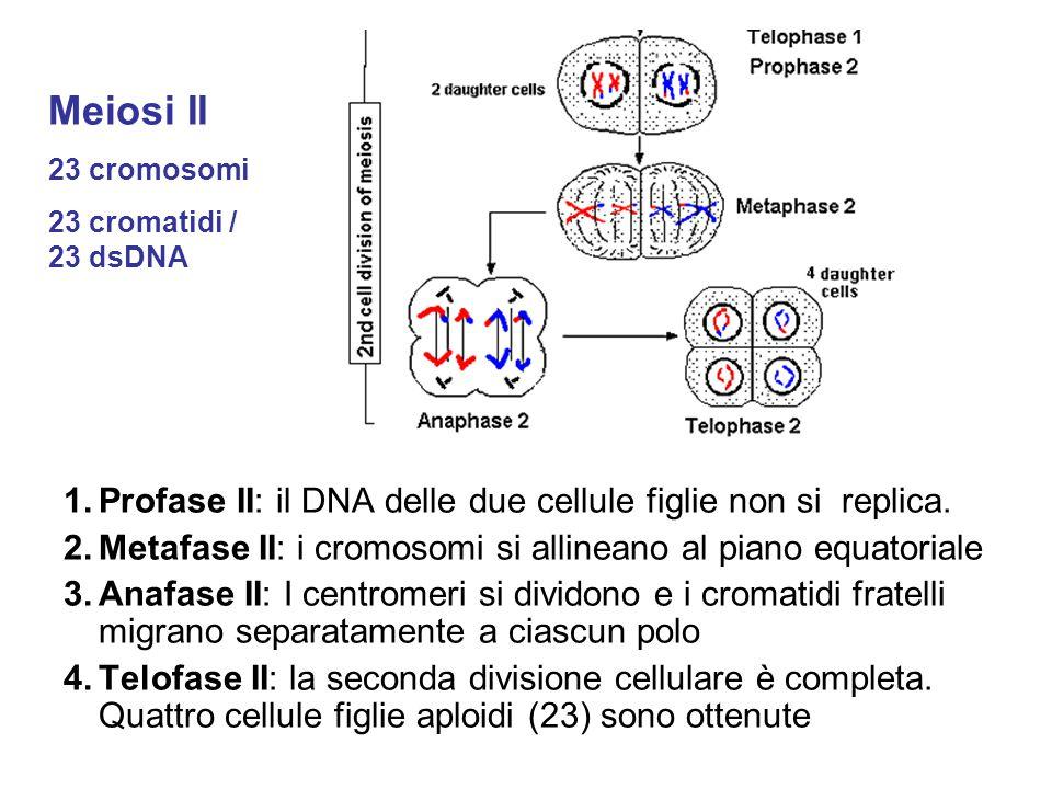 Meiosi II Profase II: il DNA delle due cellule figlie non si replica.