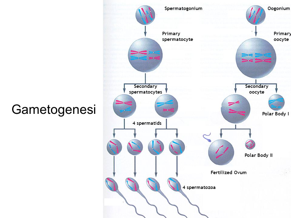 Gametogenesi Spermatogonium Oogonium Primary spermatocyte Primary