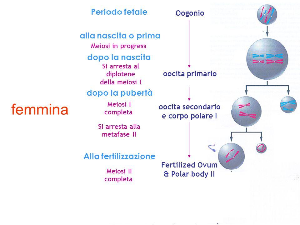 femmina Periodo fetale alla nascita o prima dopo la nascita