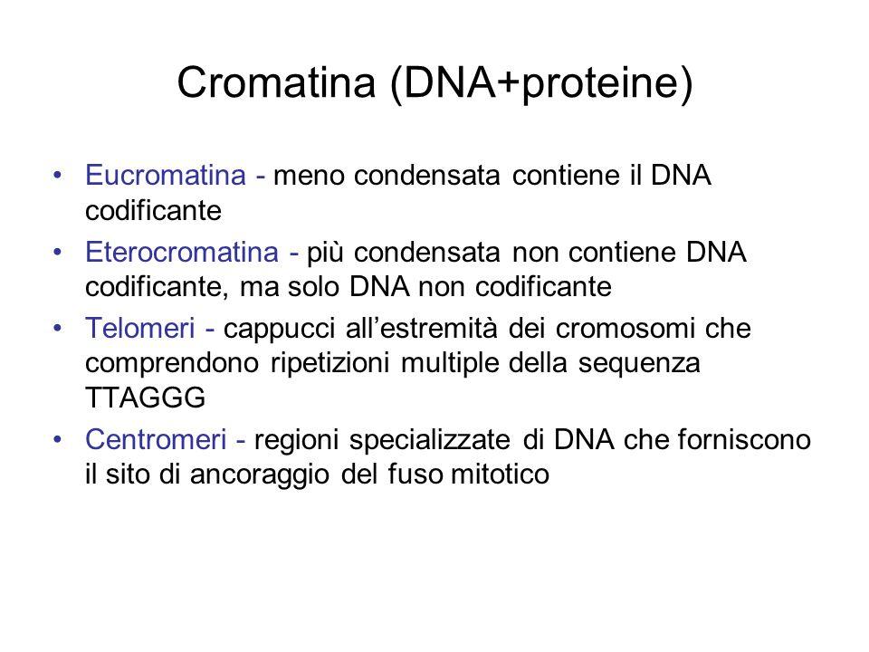 Cromatina (DNA+proteine)