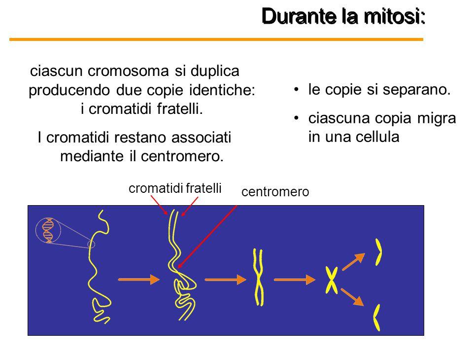 I cromatidi restano associati mediante il centromero.