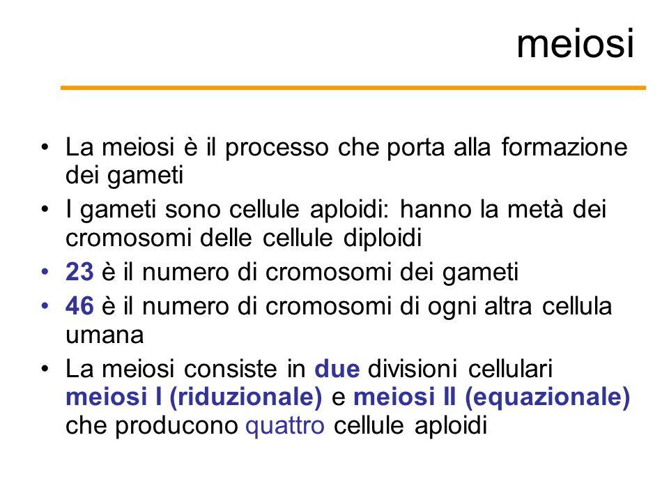 meiosi La meiosi è il processo che porta alla formazione dei gameti