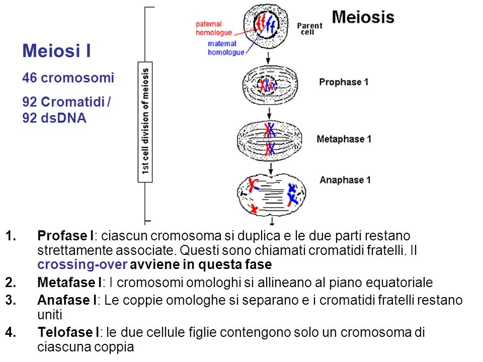 Meiosi I 46 cromosomi 92 Cromatidi / 92 dsDNA