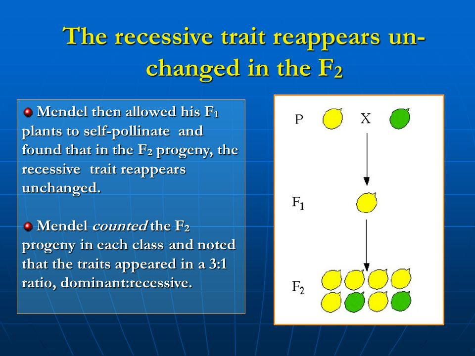 The recessive trait reappears un-changed in the F2