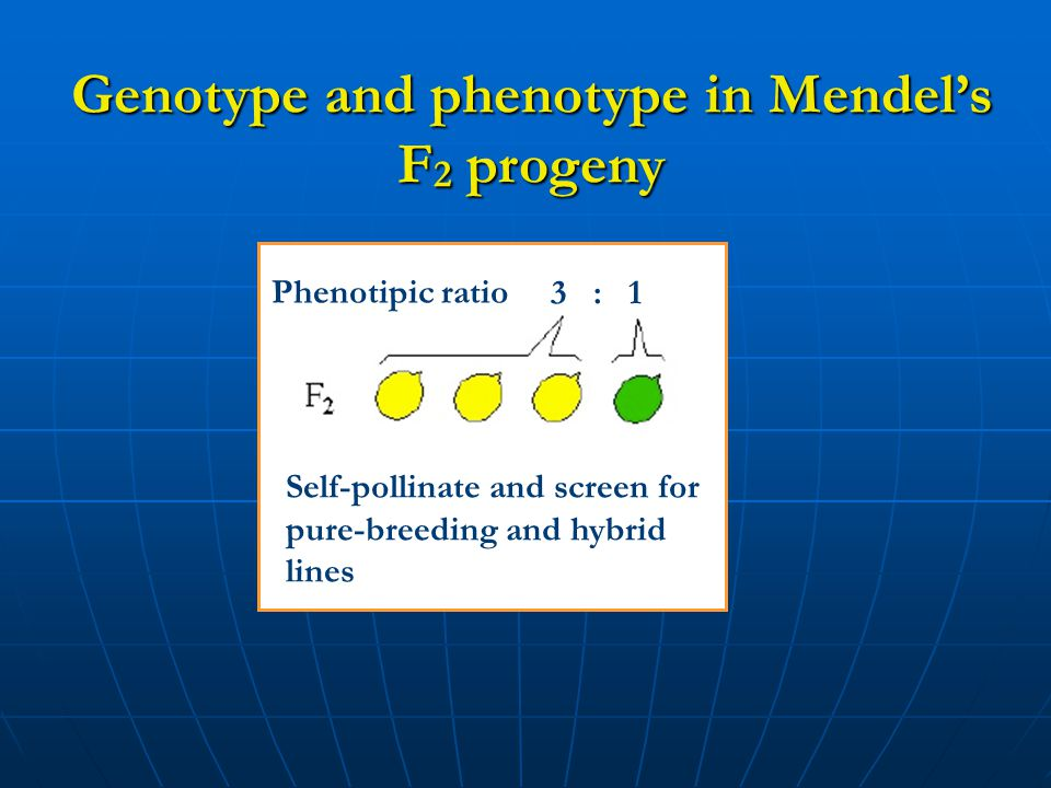 Genotype and phenotype in Mendel's F2 progeny