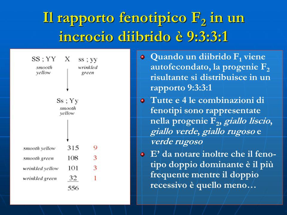 Il rapporto fenotipico F2 in un incrocio diibrido è 9:3:3:1
