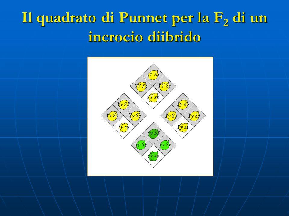 Il quadrato di Punnet per la F2 di un incrocio diibrido