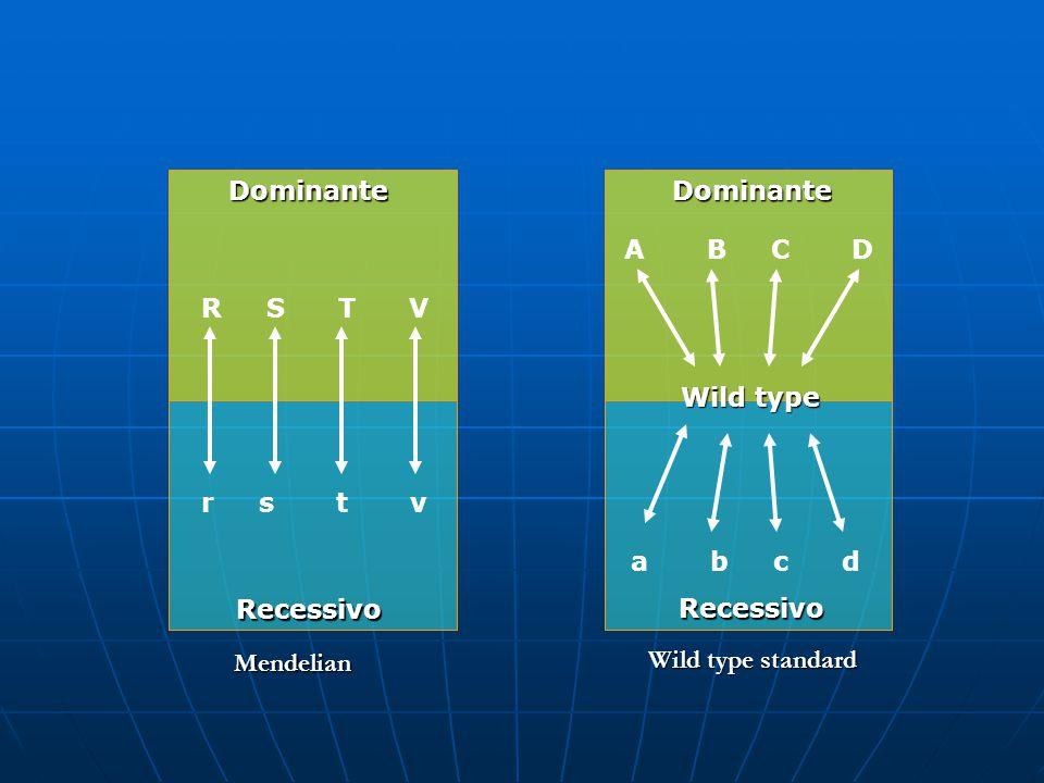 Dominante Dominante. A B C D. R S T V. Wild type. r s t v.