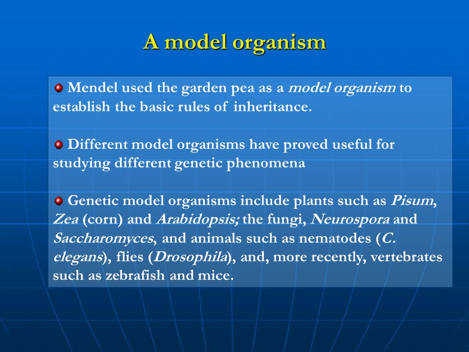 A model organism Mendel used the garden pea as a model organism to establish the basic rules of inheritance.