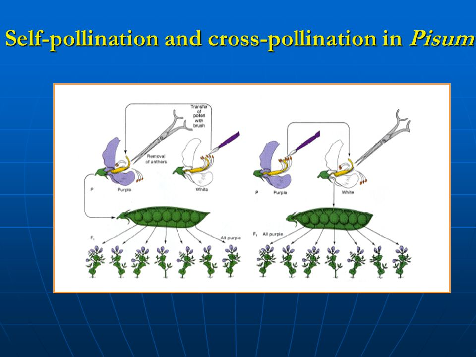 Self-pollination and cross-pollination in Pisum