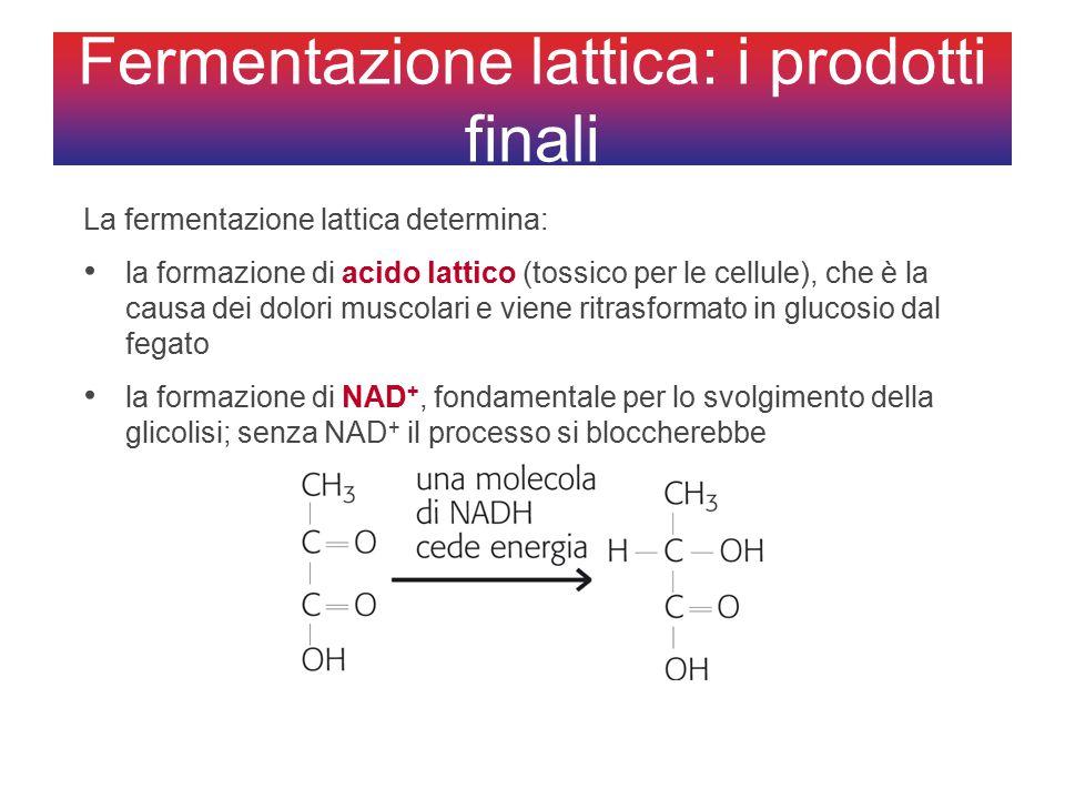 Fermentazione lattica: i prodotti finali