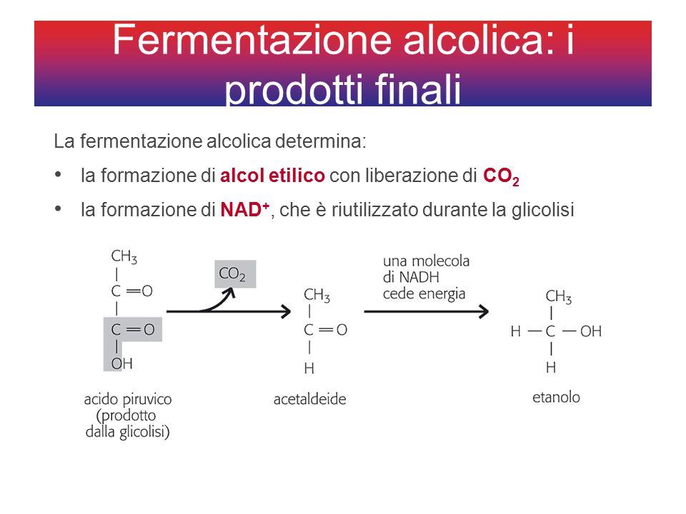 Fermentazione alcolica: i prodotti finali