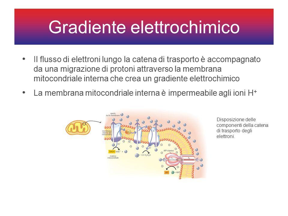 Gradiente elettrochimico