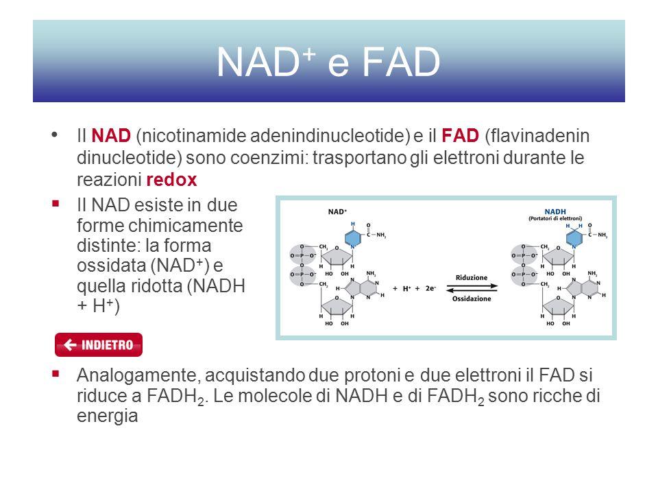 NAD+ e FAD