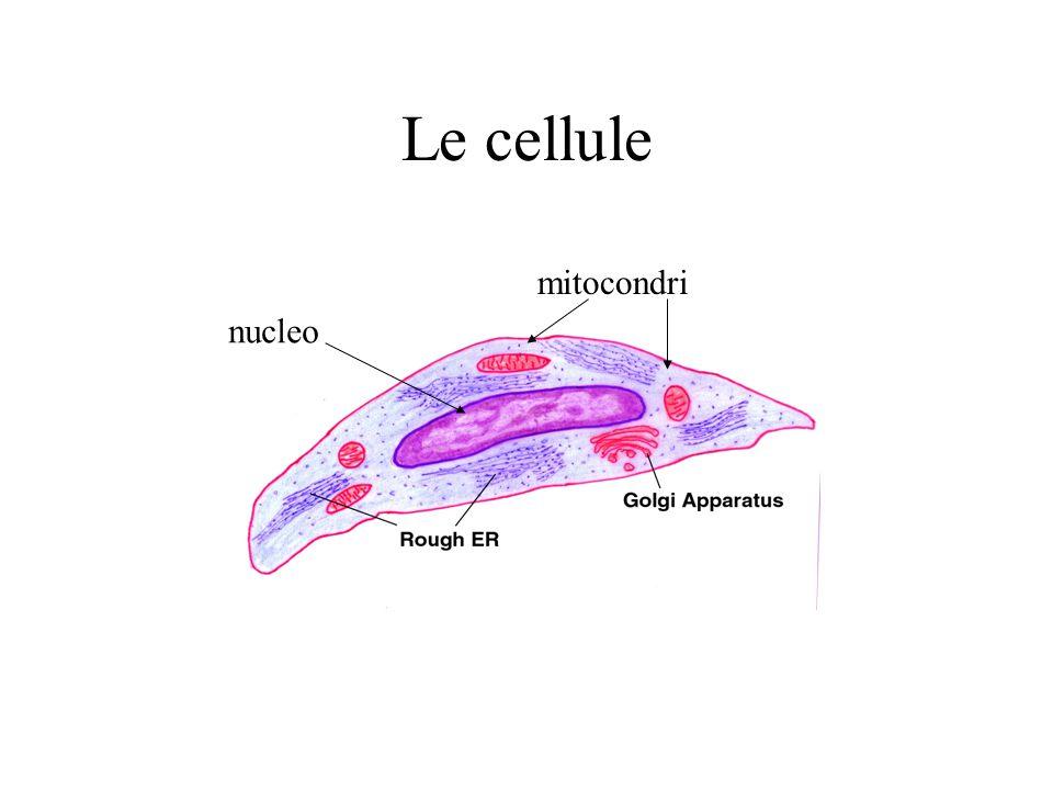 Le cellule mitocondri nucleo