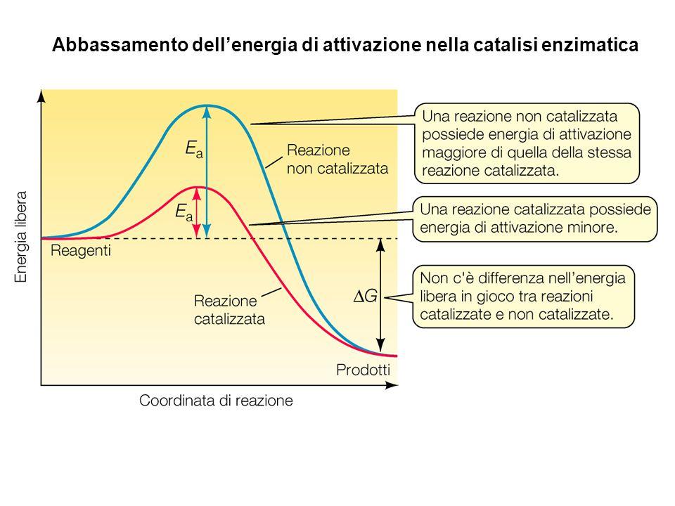 Abbassamento dell'energia di attivazione nella catalisi enzimatica