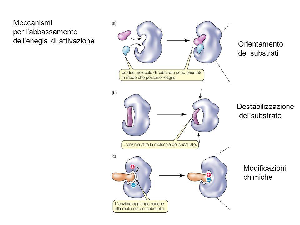 Meccanismi per l'abbassamento. dell'enegia di attivazione. Orientamento. dei substrati. Destabilizzazione.