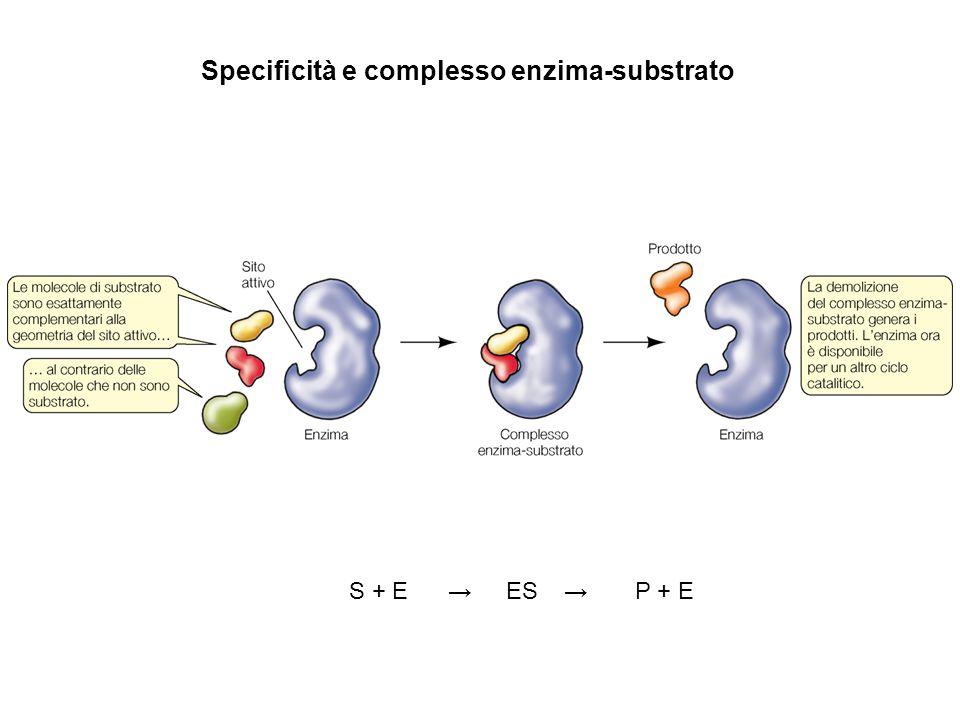 Specificità e complesso enzima-substrato