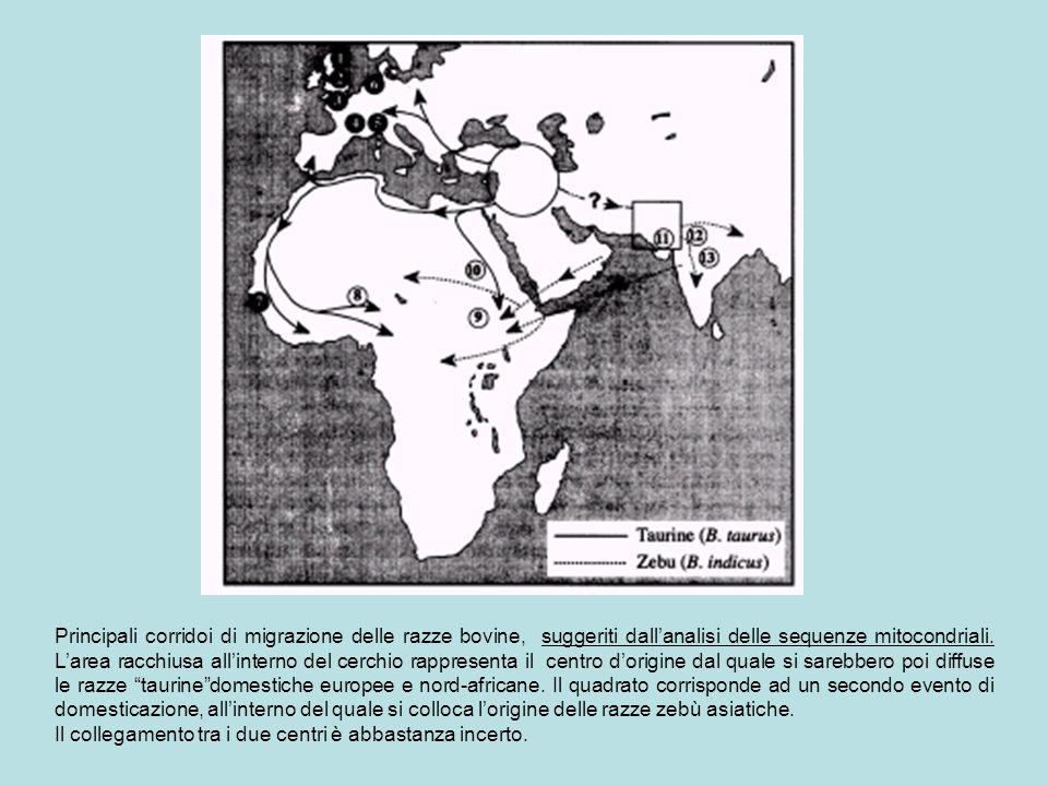 Principali corridoi di migrazione delle razze bovine, suggeriti dall'analisi delle sequenze mitocondriali. L'area racchiusa all'interno del cerchio rappresenta il centro d'origine dal quale si sarebbero poi diffuse le razze taurine domestiche europee e nord-africane. Il quadrato corrisponde ad un secondo evento di domesticazione, all'interno del quale si colloca l'origine delle razze zebù asiatiche.