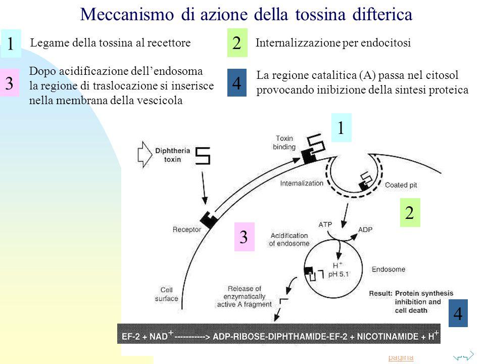Meccanismo di azione della tossina difterica