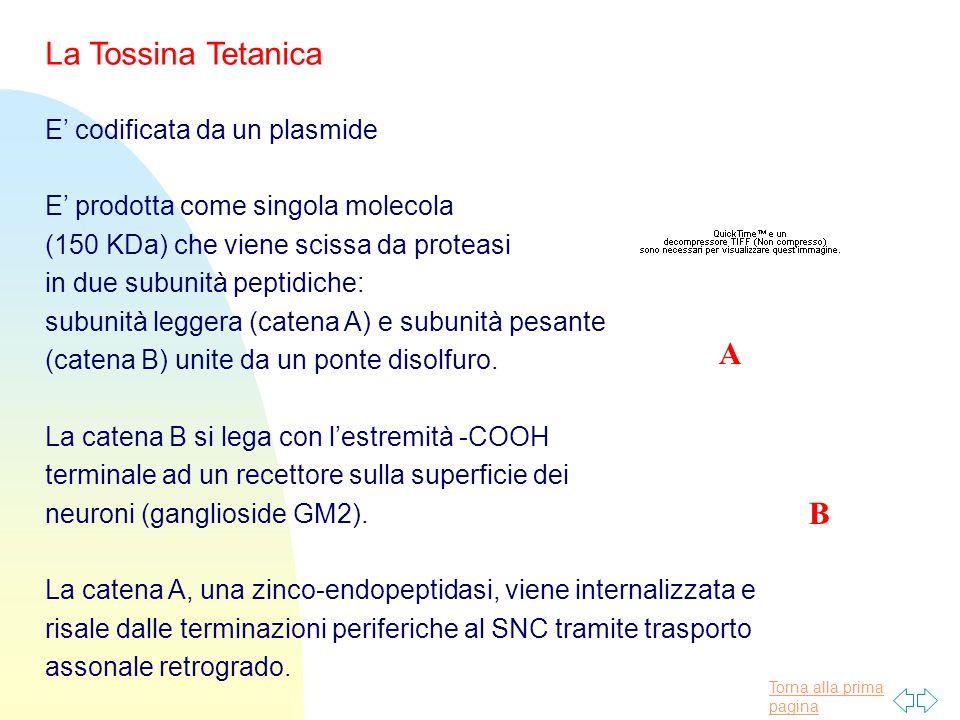 La Tossina Tetanica A A B E' codificata da un plasmide