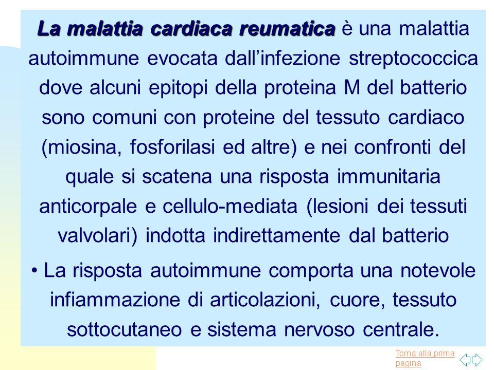 La malattia cardiaca reumatica è una malattia autoimmune evocata dall'infezione streptococcica dove alcuni epitopi della proteina M del batterio sono comuni con proteine del tessuto cardiaco (miosina, fosforilasi ed altre) e nei confronti del quale si scatena una risposta immunitaria anticorpale e cellulo-mediata (lesioni dei tessuti valvolari) indotta indirettamente dal batterio