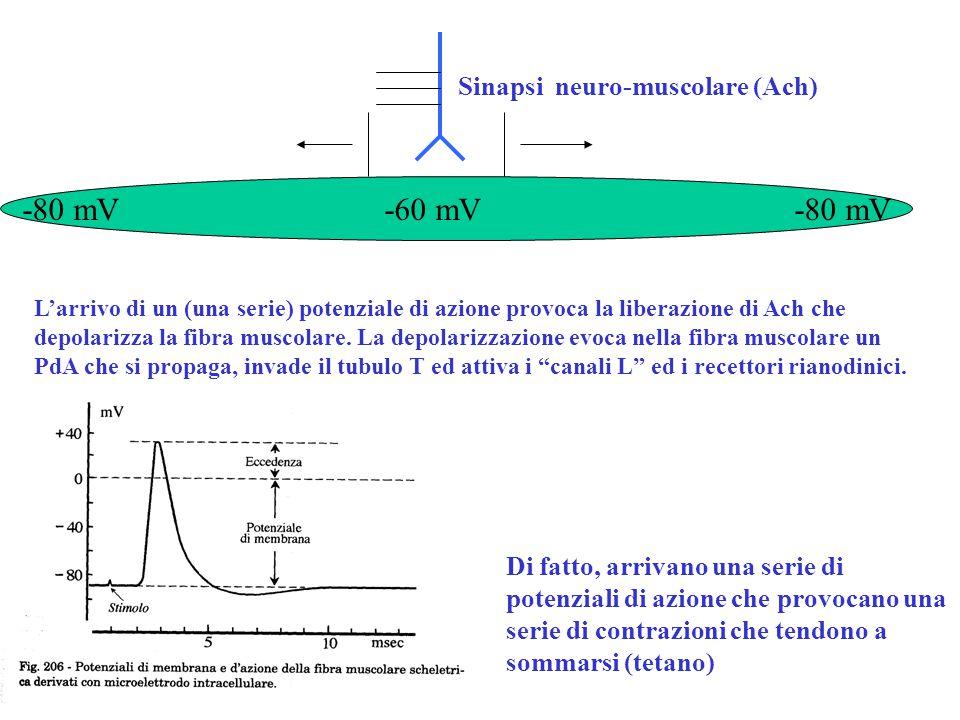 -80 mV -60 mV -80 mV Sinapsi neuro-muscolare (Ach)