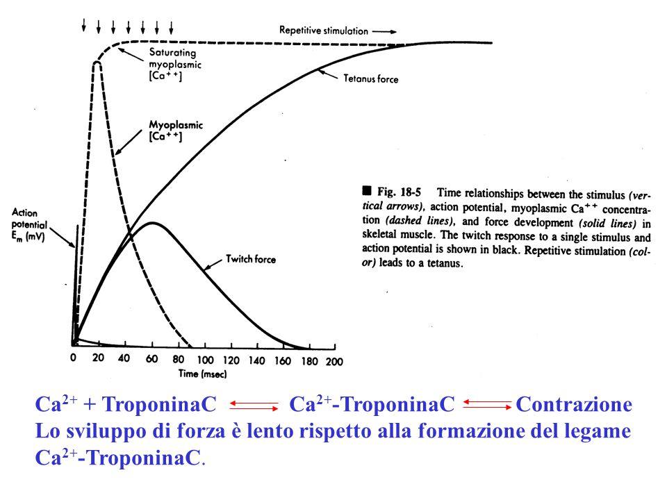 Ca2+ + TroponinaC Ca2+-TroponinaC Contrazione