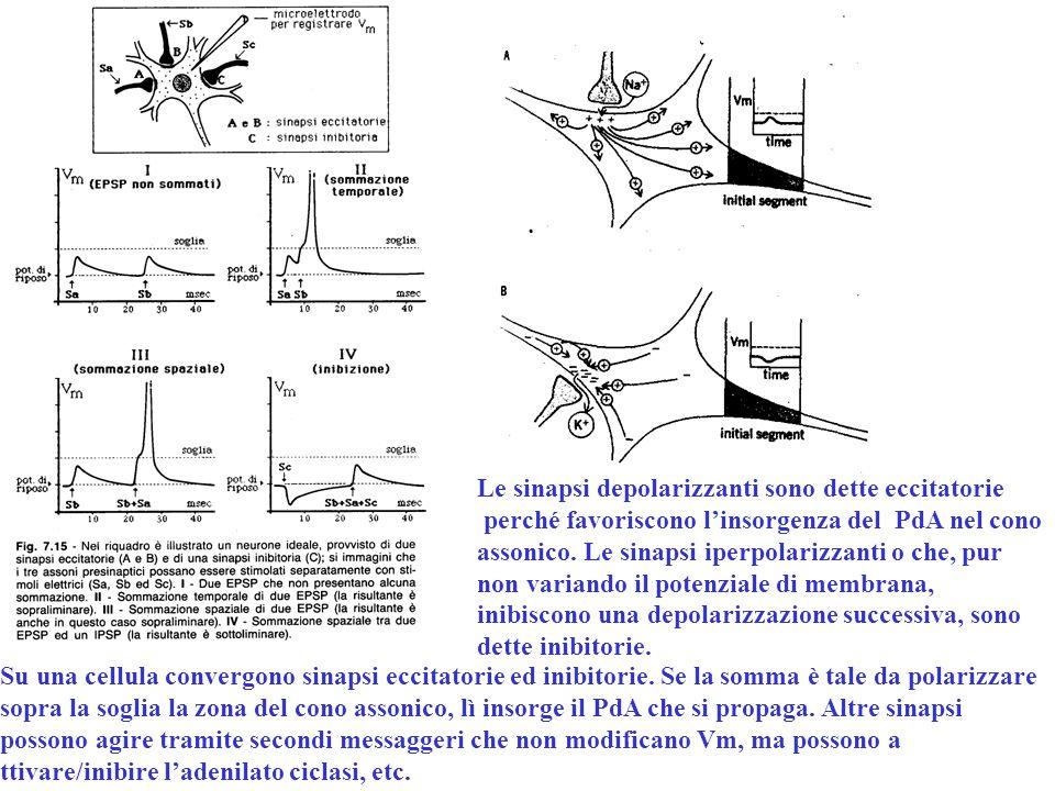 Le sinapsi depolarizzanti sono dette eccitatorie
