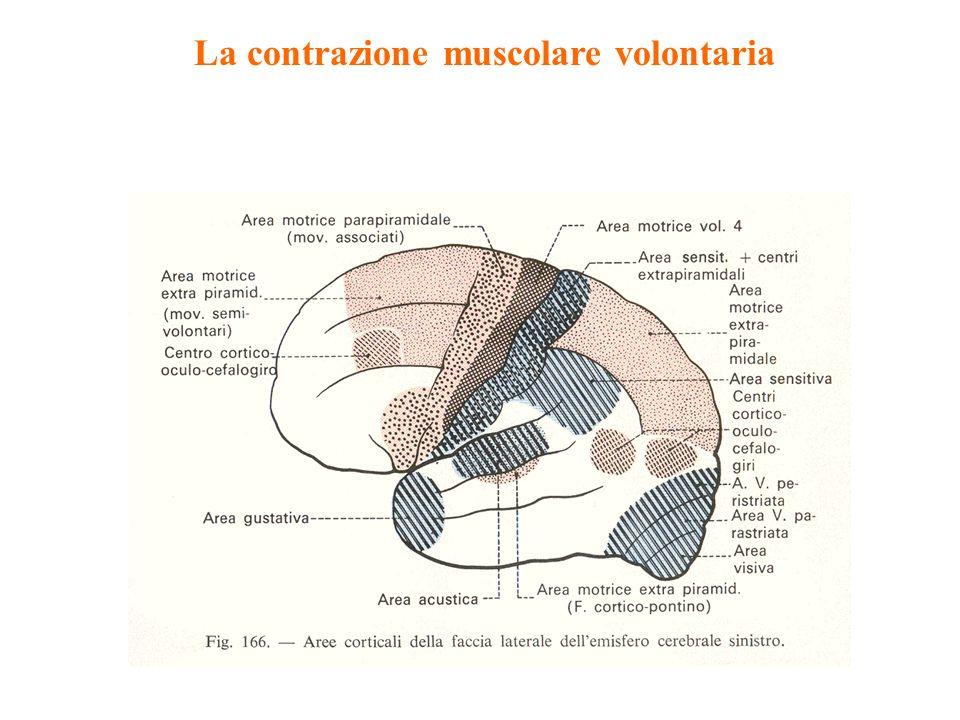 La contrazione muscolare volontaria