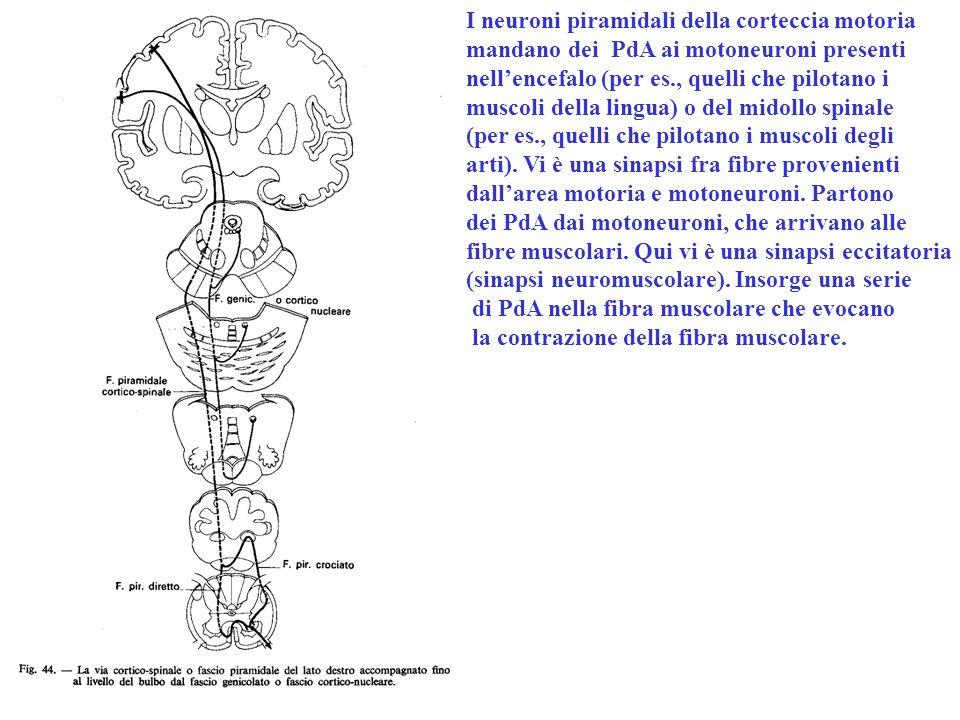 I neuroni piramidali della corteccia motoria