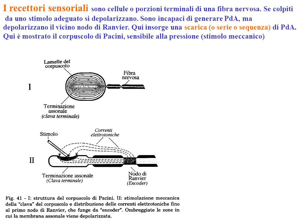 I recettori sensoriali sono cellule o porzioni terminali di una fibra nervosa. Se colpiti