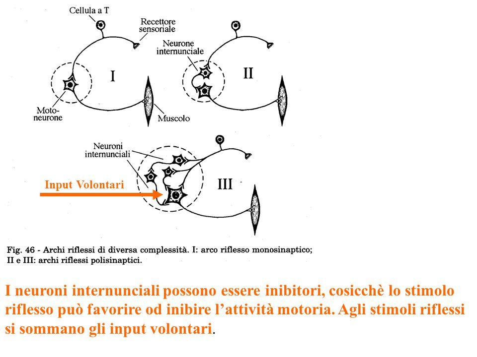 I neuroni internunciali possono essere inibitori, cosicchè lo stimolo