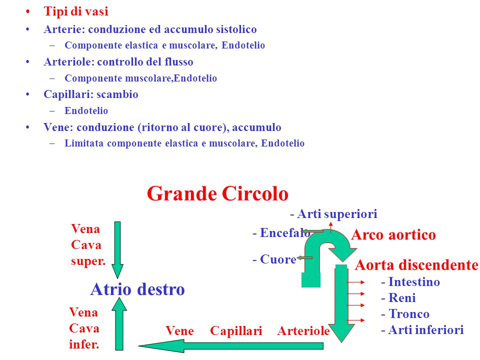 Grande Circolo Atrio destro Arco aortico Aorta discendente