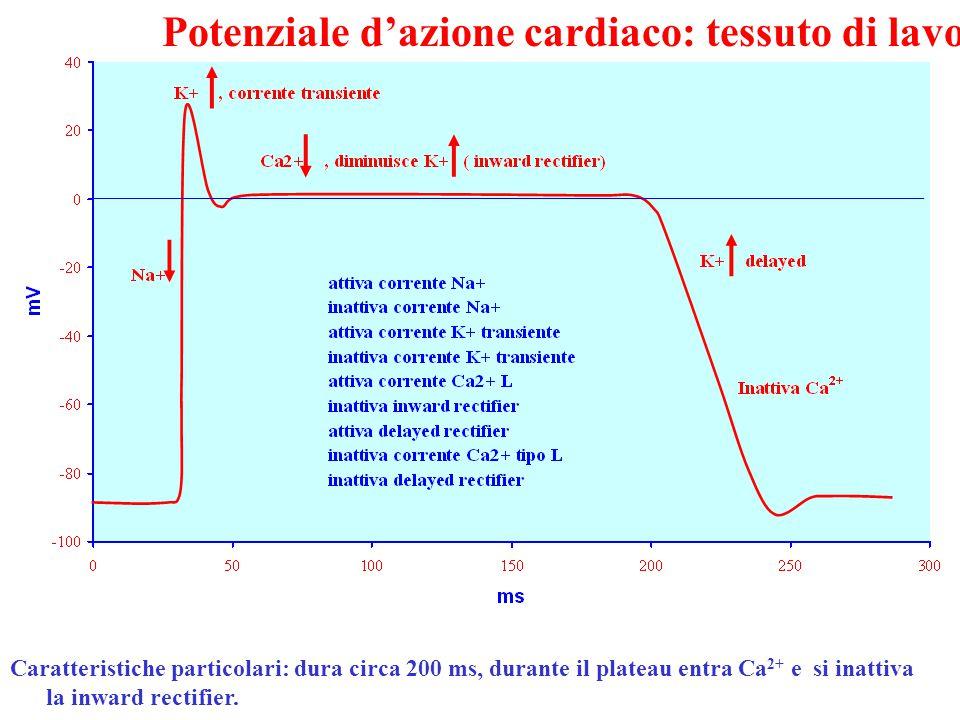Potenziale d'azione cardiaco: tessuto di lavoro