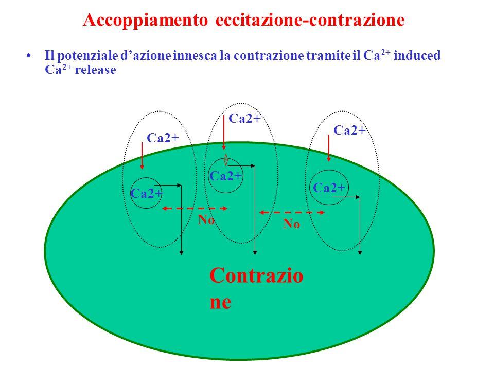 Accoppiamento eccitazione-contrazione