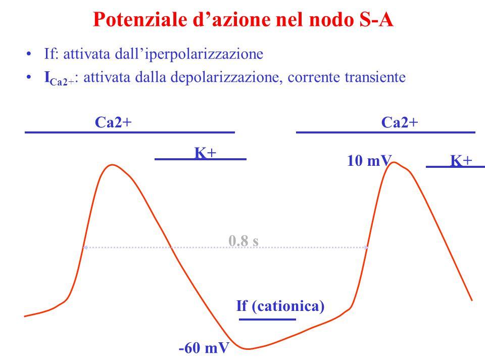 Potenziale d'azione nel nodo S-A