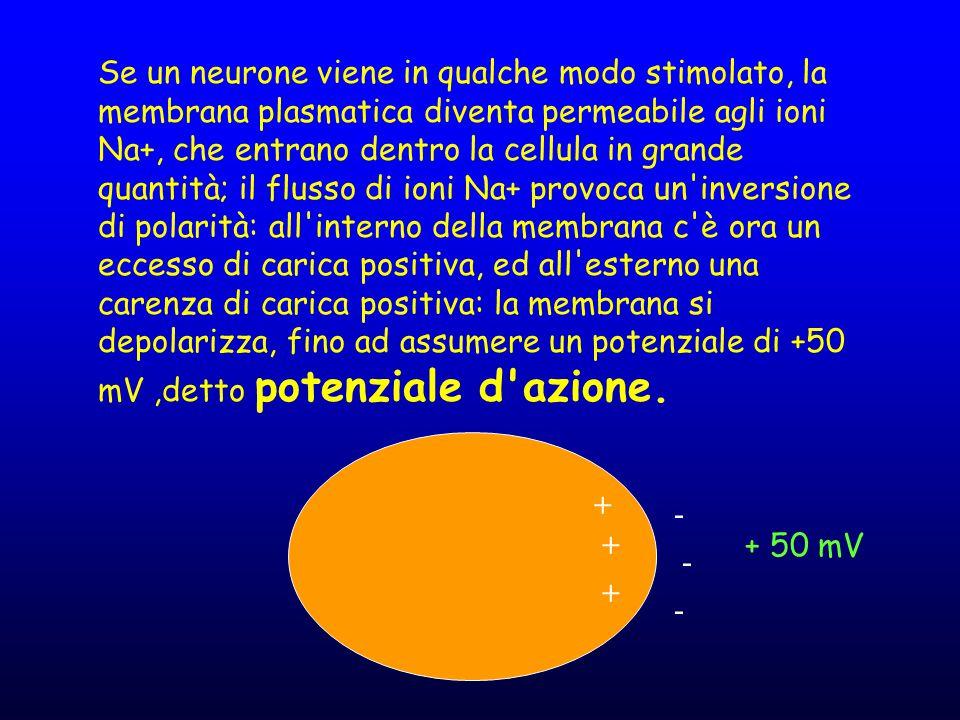 Se un neurone viene in qualche modo stimolato, la membrana plasmatica diventa permeabile agli ioni Na+, che entrano dentro la cellula in grande quantità; il flusso di ioni Na+ provoca un inversione di polarità: all interno della membrana c è ora un eccesso di carica positiva, ed all esterno una carenza di carica positiva: la membrana si depolarizza, fino ad assumere un potenziale di +50 mV ,detto potenziale d azione.
